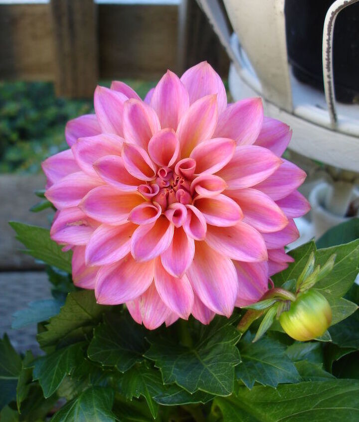 Loving the pretty face of these Dahlias :)
