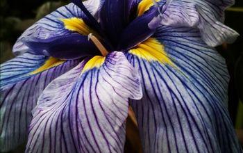 aquatic plants inspiration gallery, gardening, ponds water features, Iris