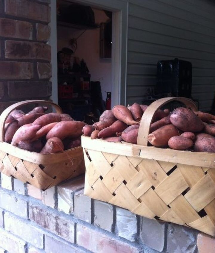 Our first harvest of sweet potatoes!