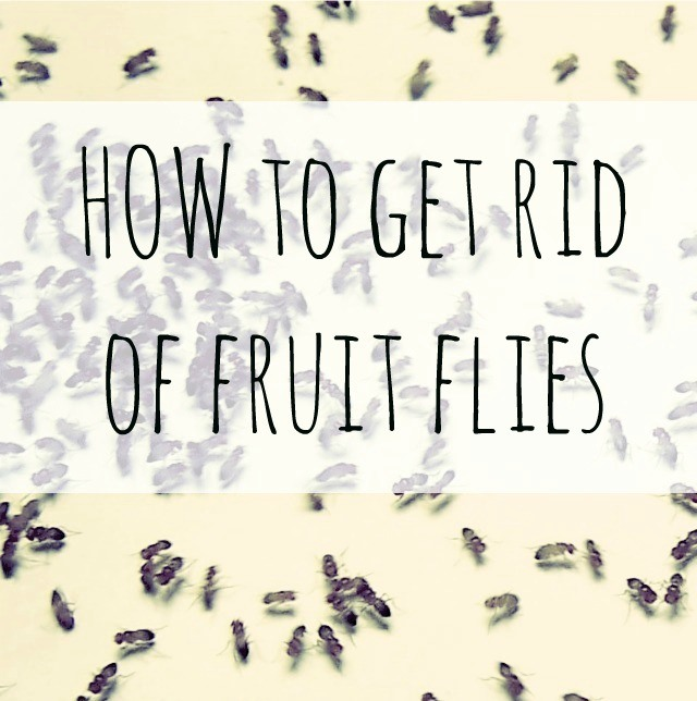 How to Get Rid of Fruit Flies With Household Items | Hometalk