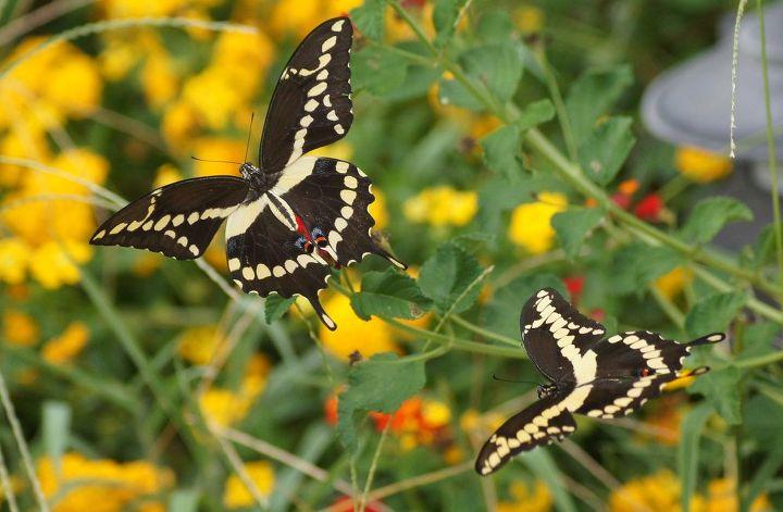butterflies amp lantana, gardening, wildlife animals