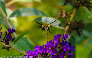 hummingbird moth feeding from butterfly bush, gardening, pets animals