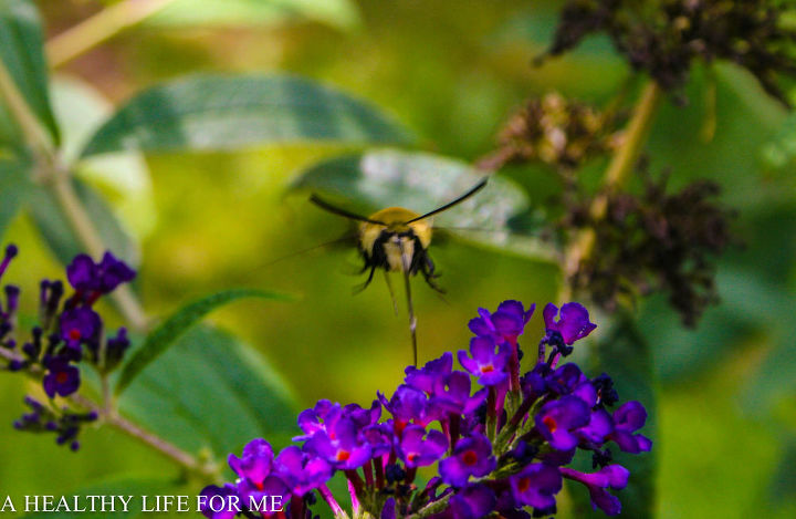 hummingbird moth feeding from butterfly bush, gardening, pets animals
