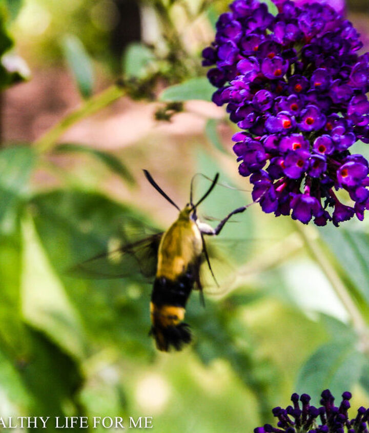hummingbird moth feeding from butterfly bush, pets animals