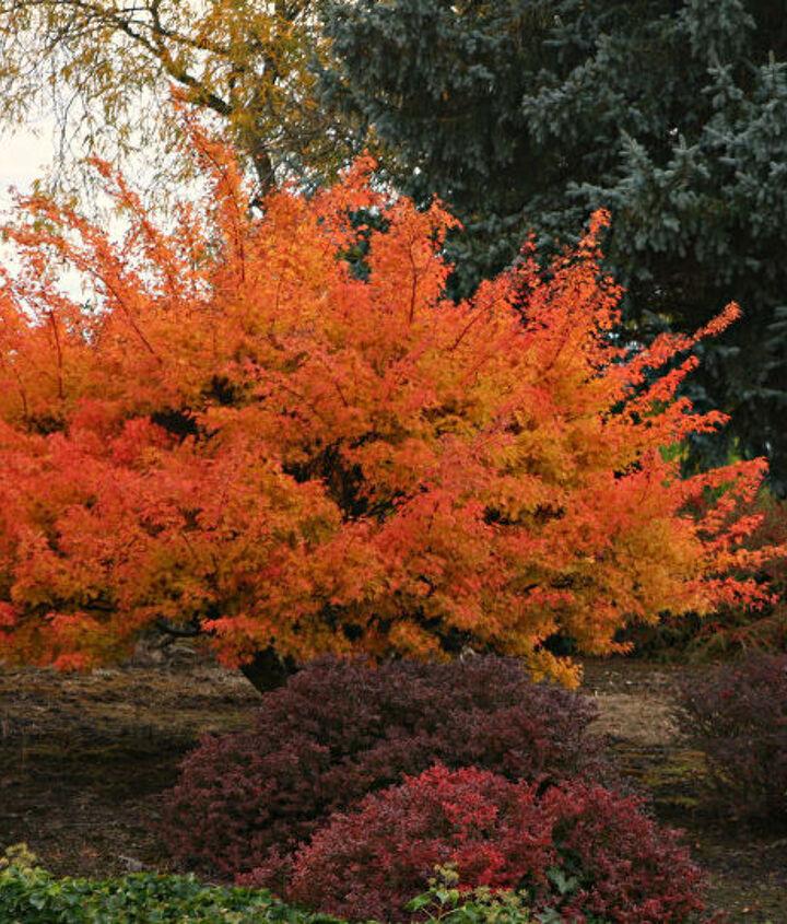 acer palmatum in it s fall coat, outdoor living