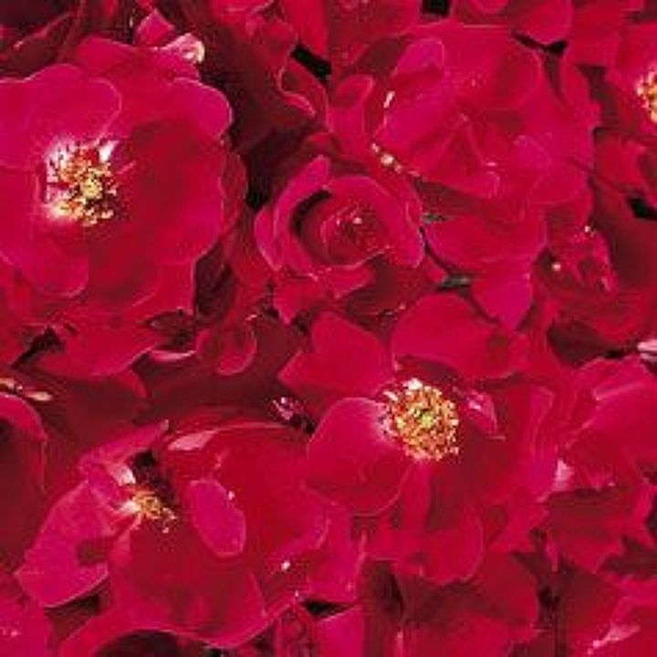 gardening pruning rosesknockout, flowers, gardening, Knockout Roses