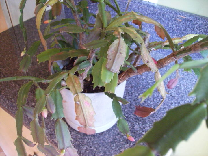 i have a xmas cactus that s probably 25 yrs old for many years now it s bloomed at, gardening
