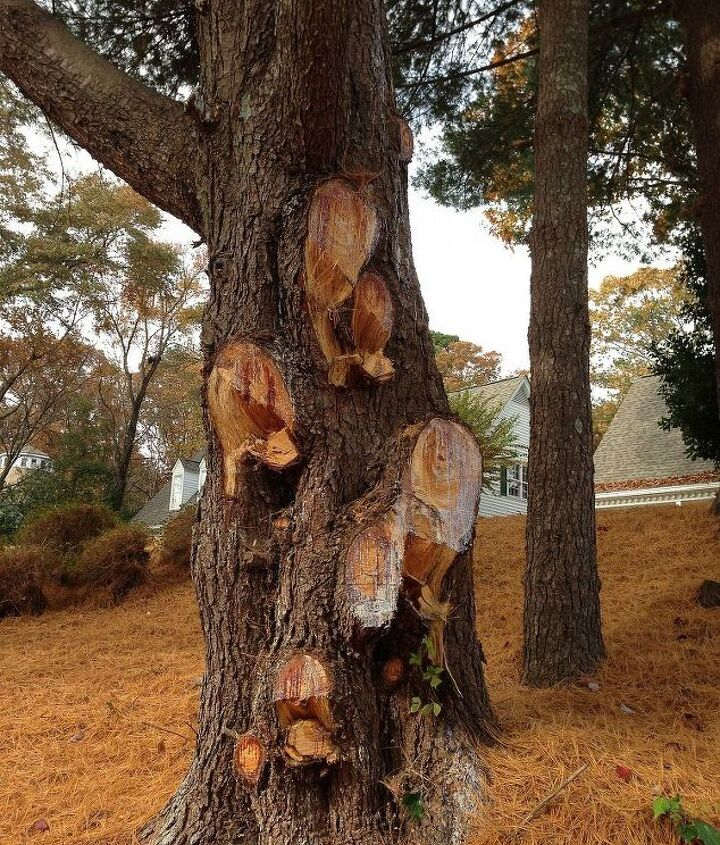 Large white pine - hacked (to death)