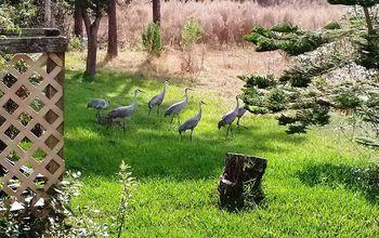 Wildlife Sandhill Cranes