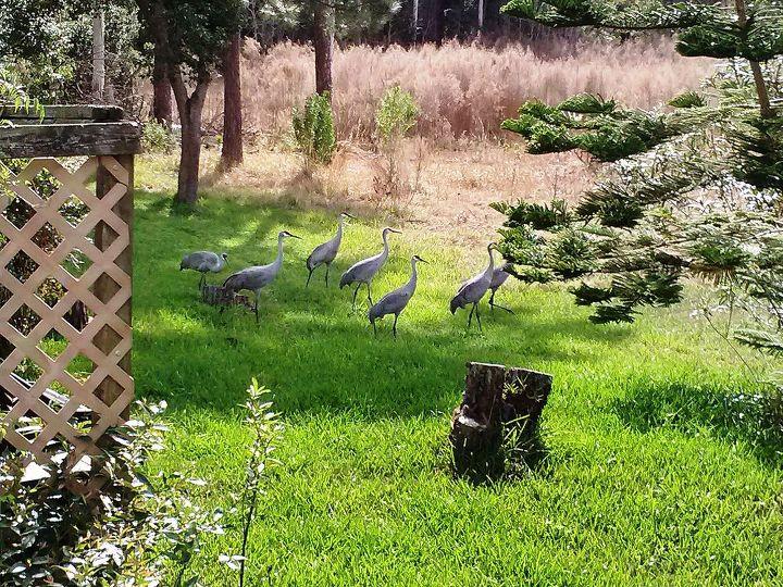 wildlife sandhill cranes, outdoor living, pets animals