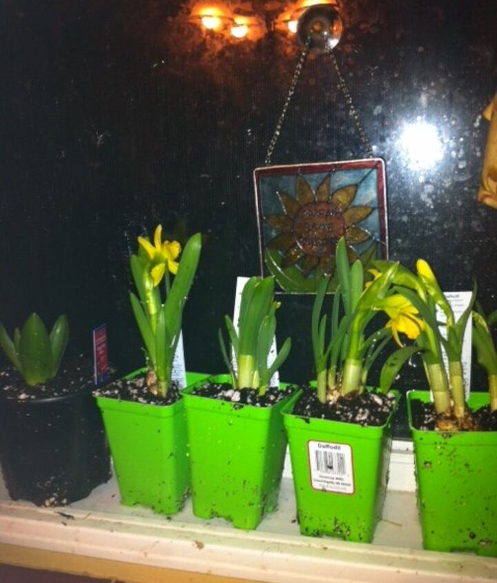Daffodils that I just bought Thurs 2/7/2013 A bit messy right now, I will be transplanting them all this weekend!