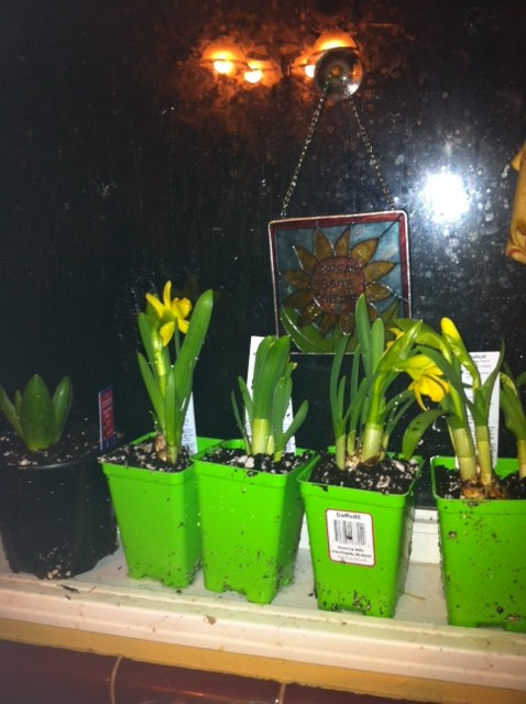 gardening, flowers, gardening, Daffodils that I just bought Thurs 2 7 2013 A bit messy right now I will be transplanting them all this weekend
