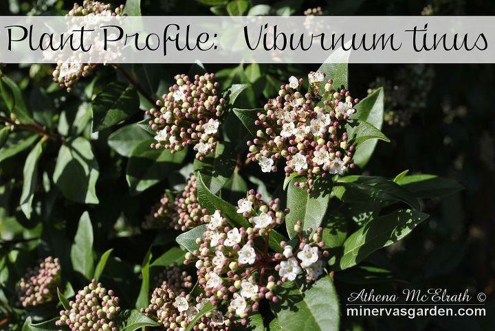 plant profile viburnum tinus, flowers, gardening