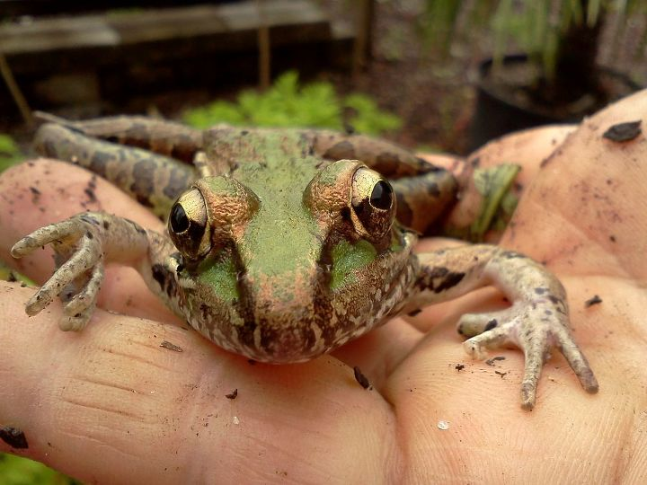 frogs are a welcome guest in my children's garden