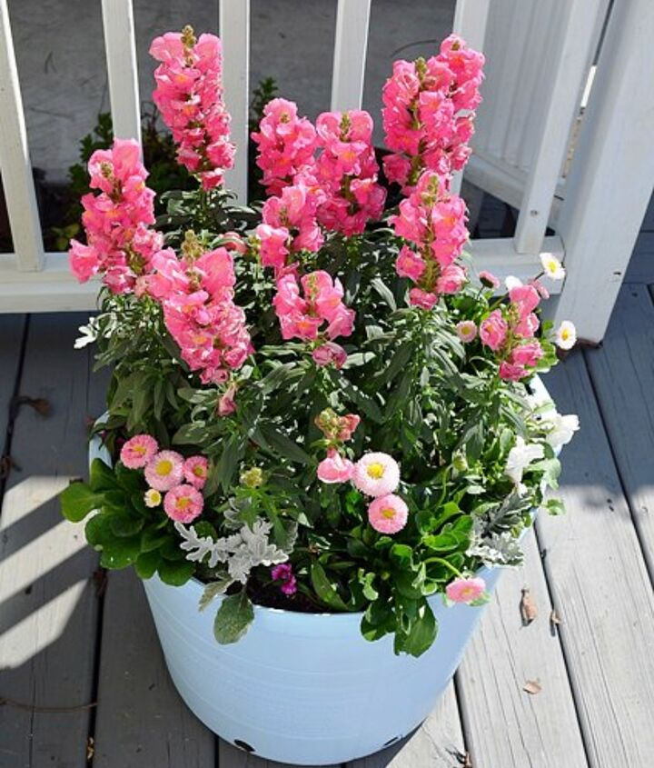 Pink snapdragons, white pansies, dusty miller, and English daisies in a spray painted plastic pot