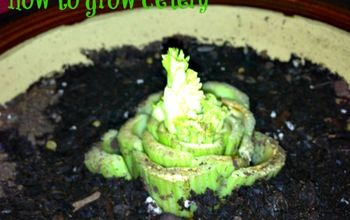 re growing celery from celery, gardening, How to grow celery from celery