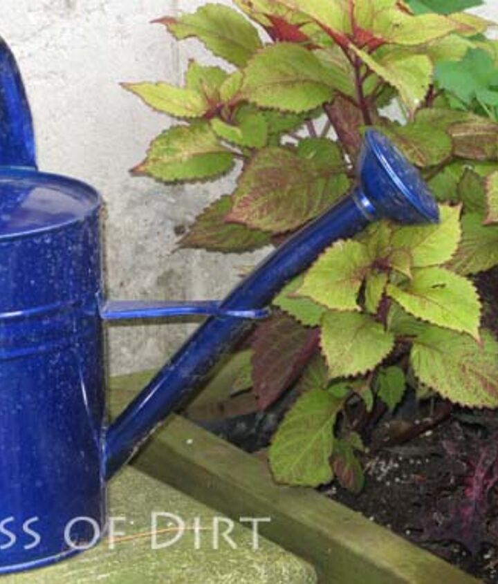 This blue watering can provides a beautiful contrast to the plant foilage.