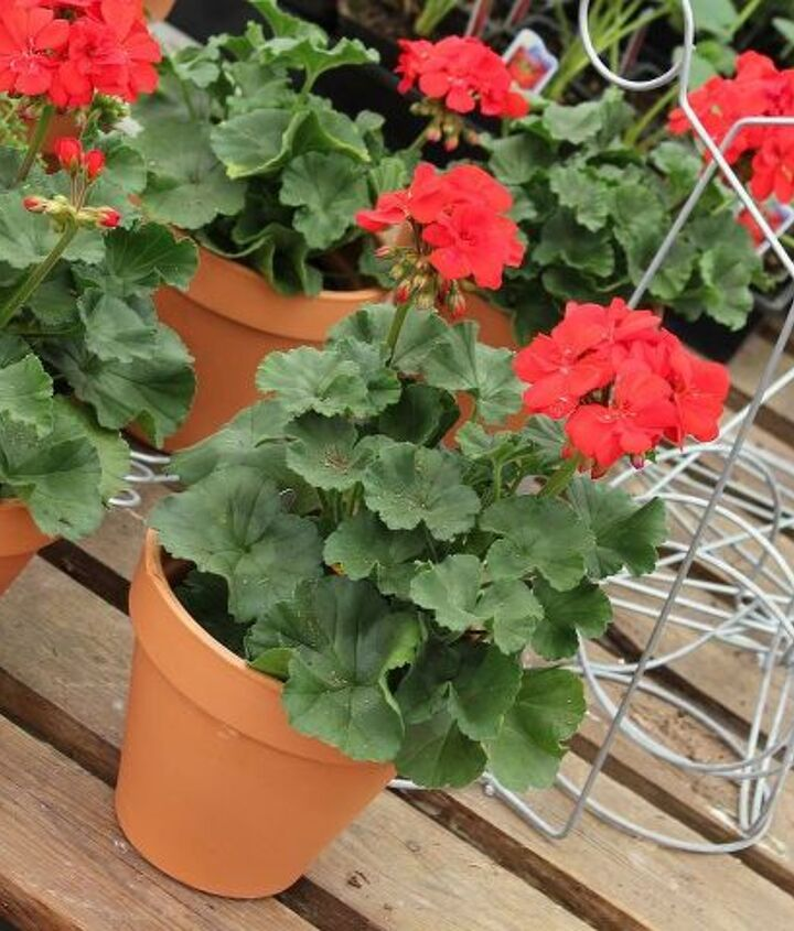 "I used 7- 6"" Terracotta pots and dropped 4"" Zonal geraniums inside.  This will give you a good design balance."
