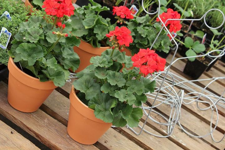 """I used 7- 6"""" Terracotta pots and dropped 4"""" Zonal geraniums inside.  This will give you a good design balance."""