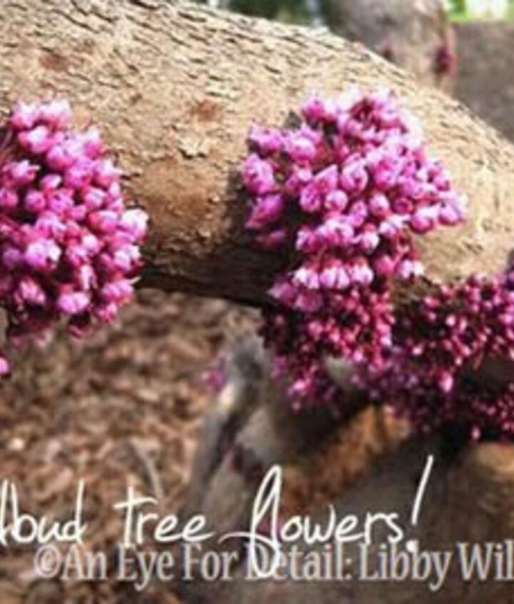 american redbud tree a classic, flowers, gardening