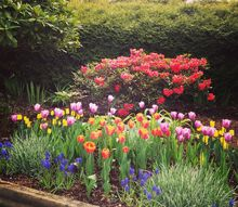 should the pink tulips stay or go, gardening, Should the pink tulips stay or go