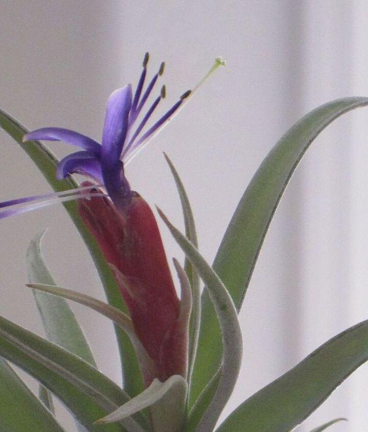 tillandsia air plant in bloom today, gardening