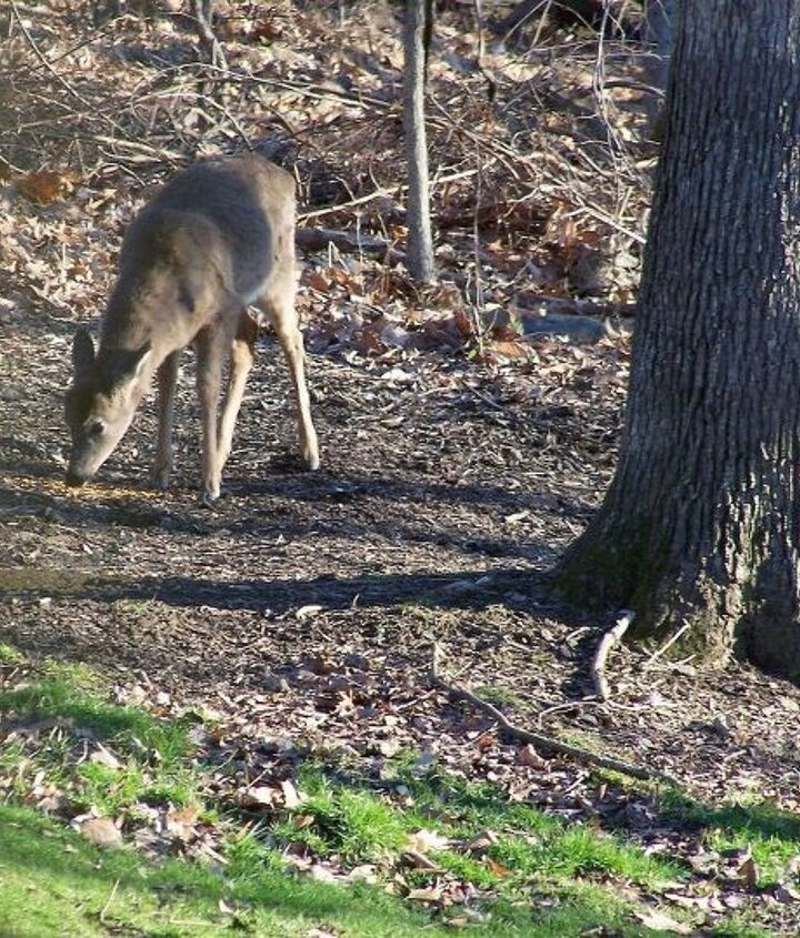 Deer comming in to eat all my hard work! No No No ! hey it worked.