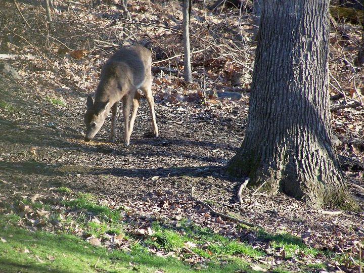 keeping away deer, cleaning tips, gardening, home maintenance repairs, landscape, plumbing, Deer comming in to eat all my hard work No No No hey it worked