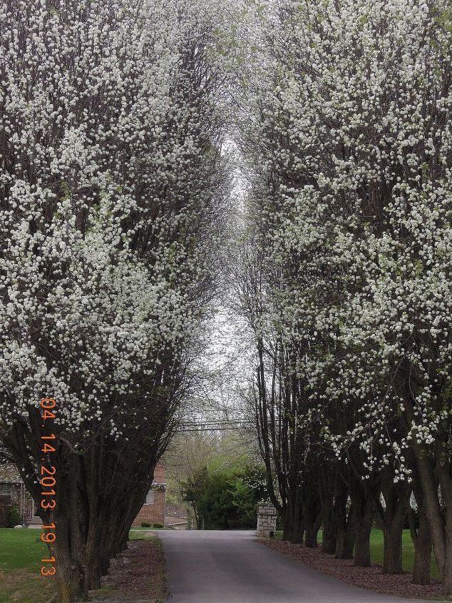 Our Driveway,lined with pear trees