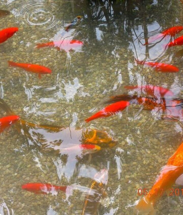 Koi in our pond