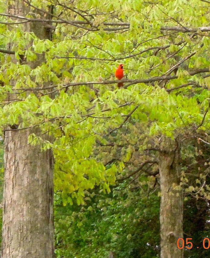 Critters,bugs & birds around our yard Cardinal