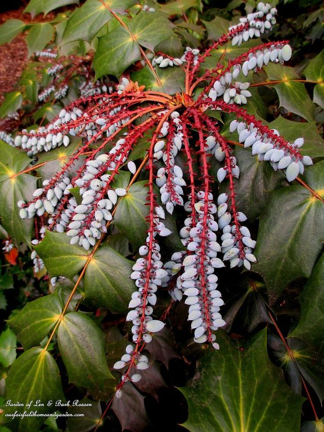Mahonia berries for the birds