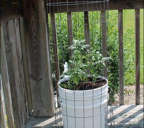 Growing Tomatoes In Five Gallon Buckets Hometalk