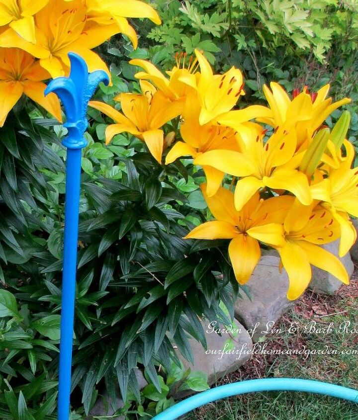 Yellow Asiatic Lilies and new hose guard