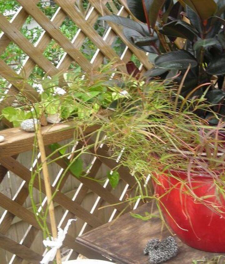 red pygmy maple, container gardening, gardening