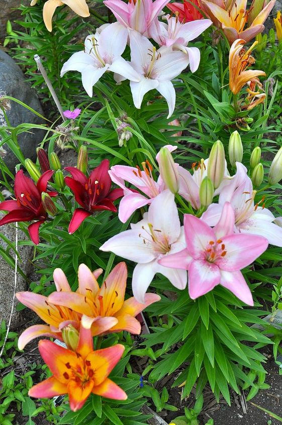 Lilies need well drained soil.