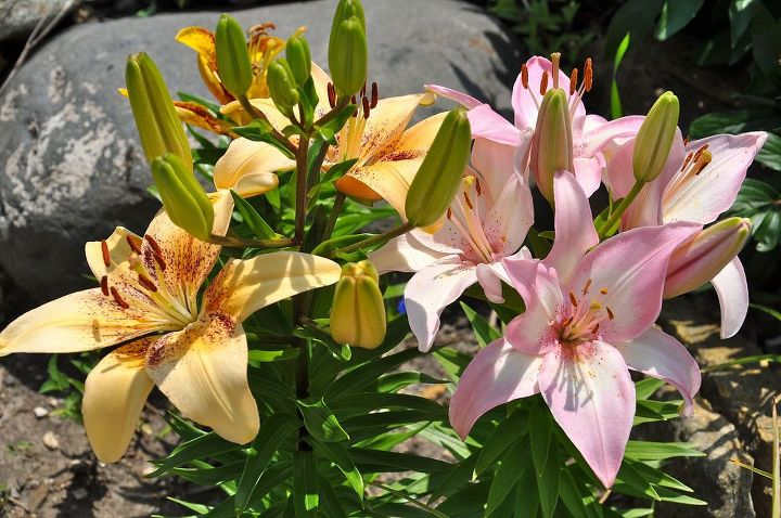 Clusters of lilies will bloom most of the summer.