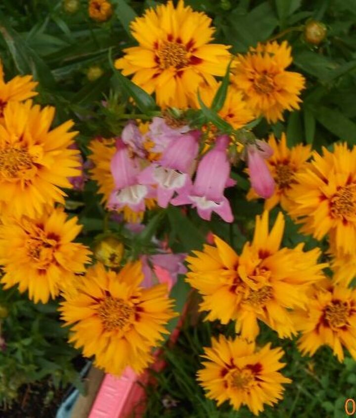 Coreopsis and bearded tongue.