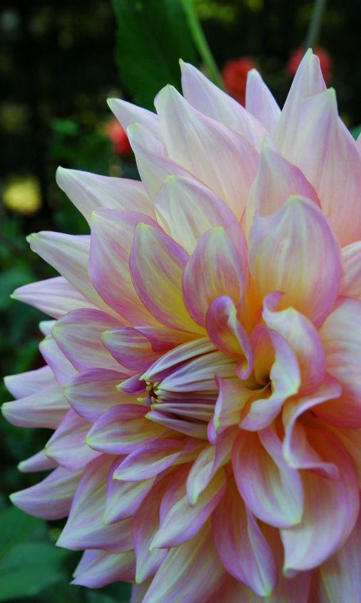 dazzling dahlias, flowers, gardening