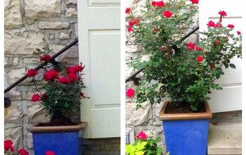knockout roses plus, container gardening, curb appeal, flowers, gardening, Left when the roses were planted May 17 Right yesterday With a little care this rose has grown exceptionally well and upright through the season