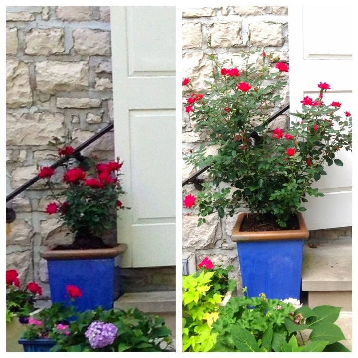 Left, when the roses were planted May 17 Right, yesterday. With a little care, this rose has grown exceptionally well and upright through the season