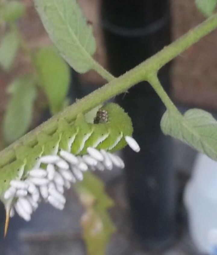 q what is hanging in this caterpillar, gardening, pets animals
