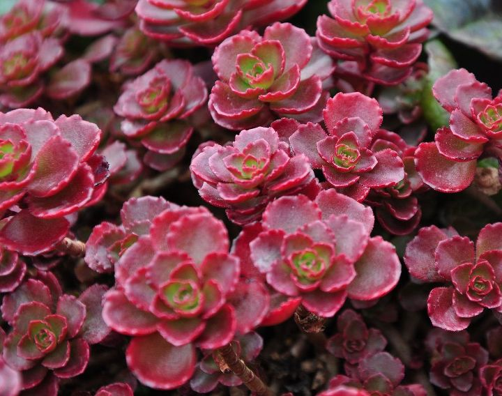 As well as taller varieties, there are many great groundcovers like this 'Dragon's Blood'. The red color of 'Dragon's Blood' intensifies according to the amount of sunlight.  Dragons Blood, Sedum spurium 'Dragon's Blood' Full sun. Max.