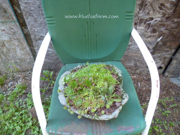 Mixed Sempervivum (hens and chicks are the perfect planting in the rustic looking flat dish.
