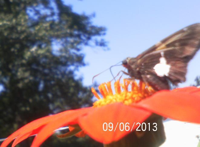 bee s butterflies n flowers, flowers, gardening, pets animals, Mexican Sunflower