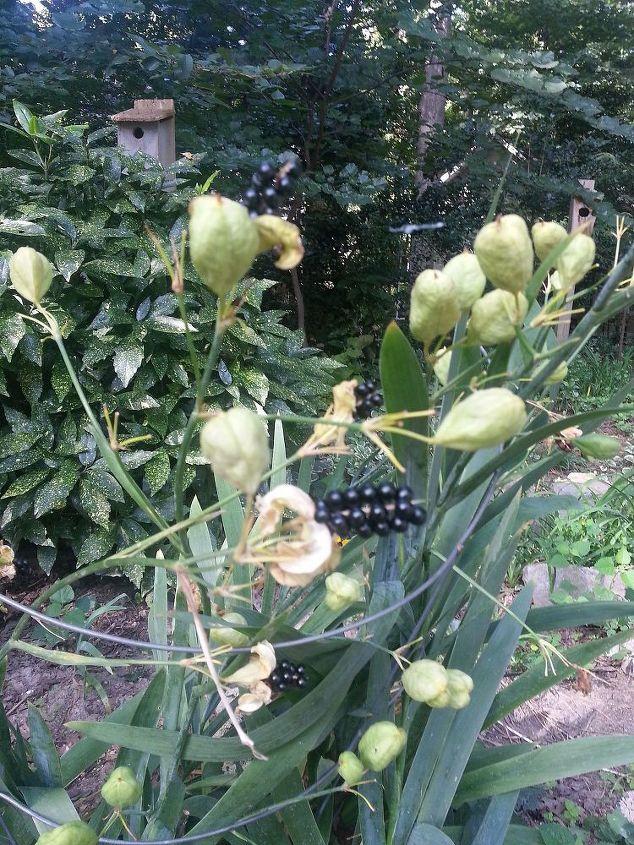 blackberry lily, gardening