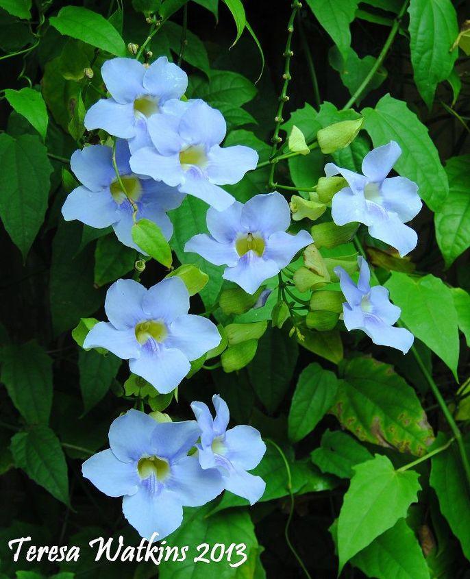 what s blooming in your backyard, gardening, Sky vine Thunbergia laurelfolia