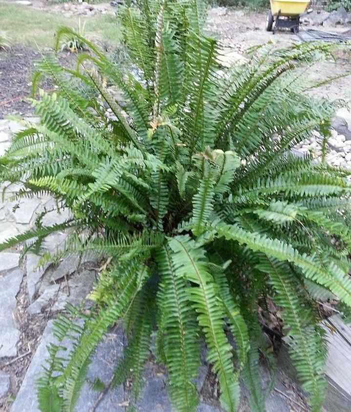 Kimberly Fern $3 early this summer on the markdown rack. Overwinter in the garage next month