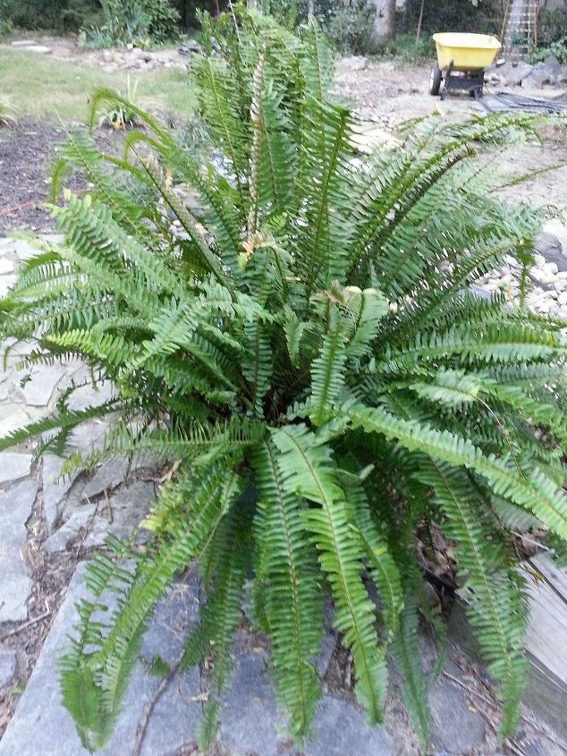 kimberly ferns a great plant for the porch patio or deck, gardening, Kimberly Fern 3 early this summer on the markdown rack Overwinter in the garage next month
