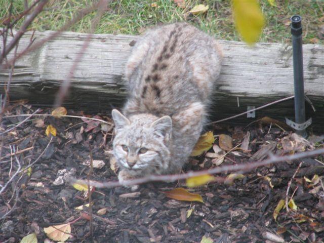 bobcat kitten, pets animals